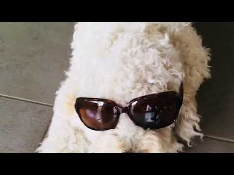Funny  labradoodles.  Funny dogs.    Cute dogs labradoodle funny