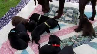 Labrador Dalmatiner Welpen Von Uwe Rudolph