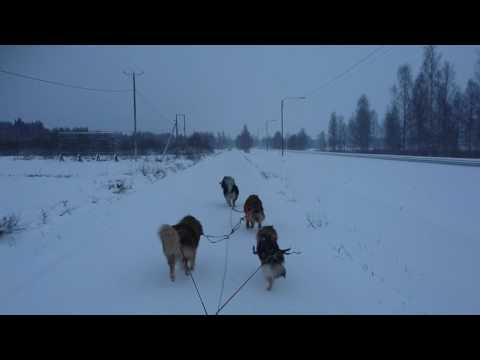 Finnish Lapphund team