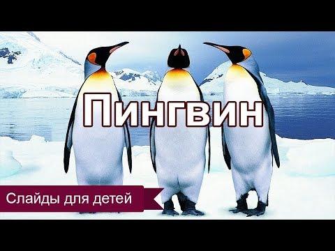 Императорский пингвин. Слайды для детей. МСЦ ЕХБ