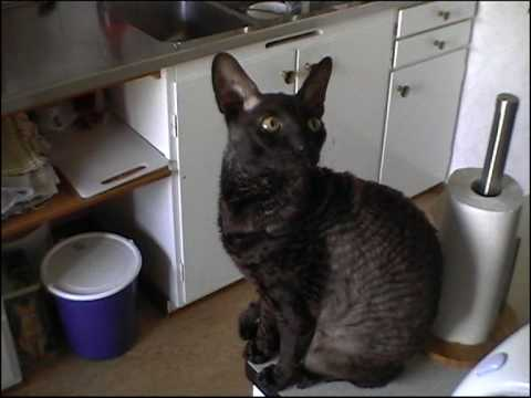 The cat Viggo, a Cornish rex.