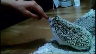 Kirpi Saldırısı / Hedgehog attacks