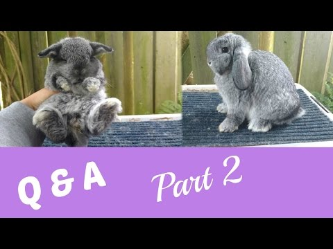 Evaluating Holland Lop Crown? Q&A pt. 2!