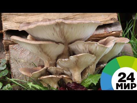 Бизнес на грибах: школьник из Армении выращивает дома вешенки - МИР 24
