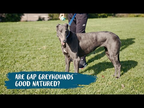 GAP NSW Tim Cahill Series - Are Greyhounds Good Natured?