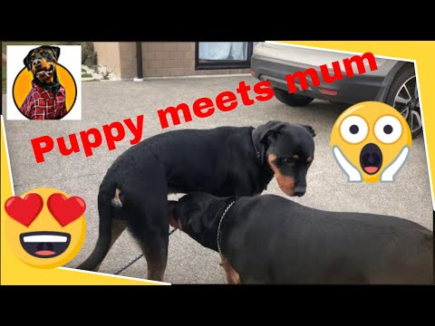 Rottweiler puppy meeting his mum after 8 months
