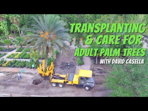 Transplanting And Care Of Adult Palm Trees