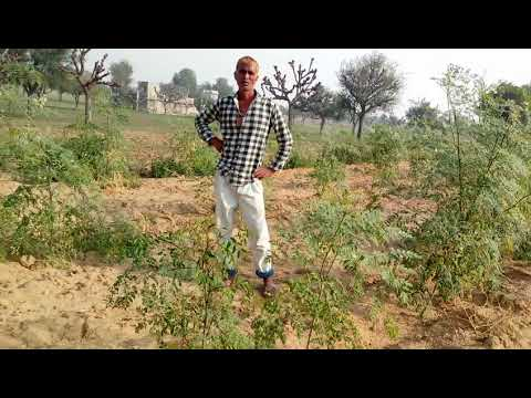MORINGA FARMING IN PALTHANA