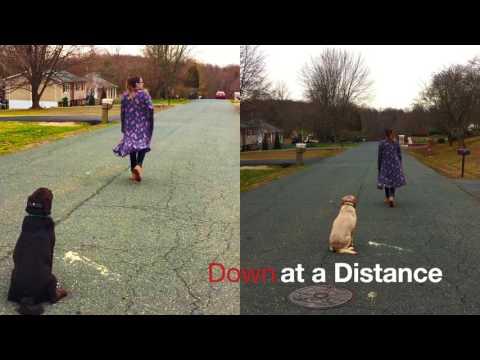 Labs Dakota and Mila!  Best Lab Dog Training | Off Leash Trained Labs | Electronic Collar Training