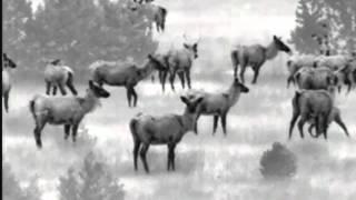 Огромное стадо лосей| ATN Thermal Monocular OTS-X