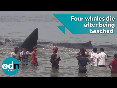 Four whales die after being beached in Indonesia