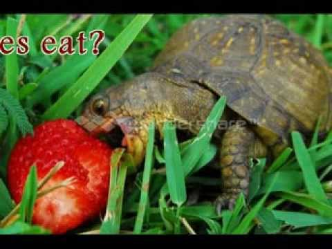 what do turtles eat? - YouTube