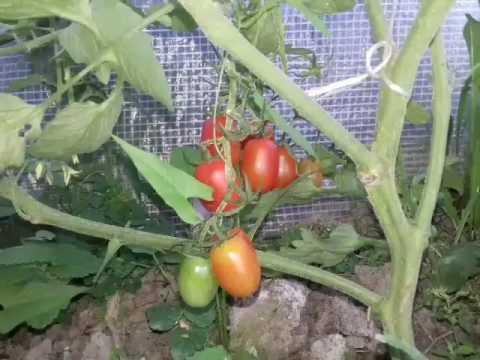 Pomidory Koktajlowe Truskawkowy
