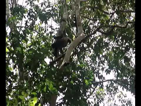 Howler monkeys at Tikal Guatemala