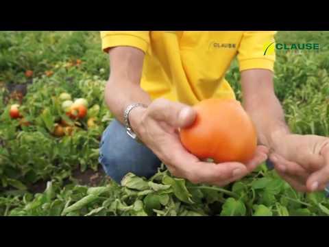 Самый ранний томат || Каста (Супернова) F1