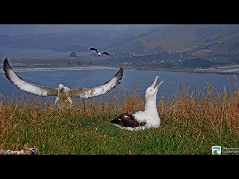 Royal Albatross Cam ~ YRK Returns! Lovingly Allopreening OGK & Shift Change! 1.22.20