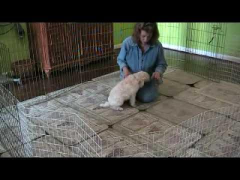 Adagio Standard Poodles Bert/Vanna 2010