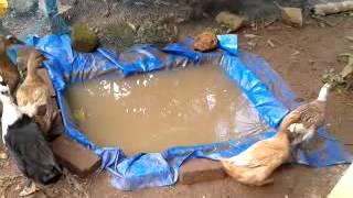 tharavu valarthal,താറാവ് കൃഷി,duck farming