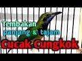 Cucak Cungkok Gacor Nembak Panjang Dan Tajam  Mp3 - Mp4 Download