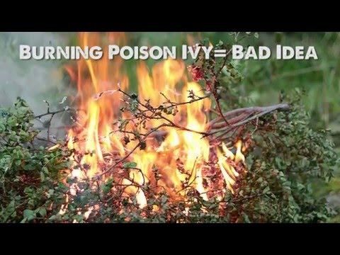 Behind the CounterPoison Ivy: Facts, Myths, and Treatment