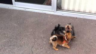 Leo The Pug (chug) Vs Rocco The Yorkshire Terrier