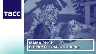 Мама-рысь в Иркутском зоопарке