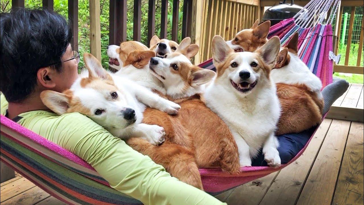 흔들리는 해먹 속에서 네 꼬순내가 느껴진거야~ ㅣ When the hammock with eight corgis on it shakes.. My heart shakes, too.