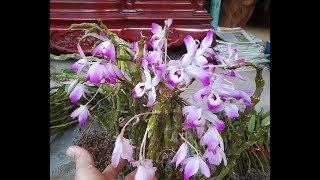 Hoàng thảo đùi gà dẹp | Một loại lan rừng hoa siêu đẹp nên có | Orchid | Đã Hết