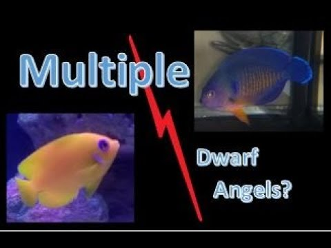 Ep. 21 - Multiple Dwarf Angels In The Saltwater Tank??
