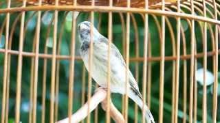 Burung Master Blackthroat Super Gacor