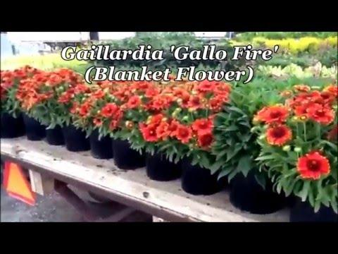 Best Perennials - Gaillardia Gallo Fire (Blanket Flower)