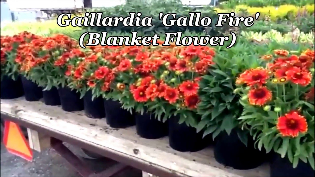 Best Perennials Gaillardia Gallo Fire Blanket Flower Youtube