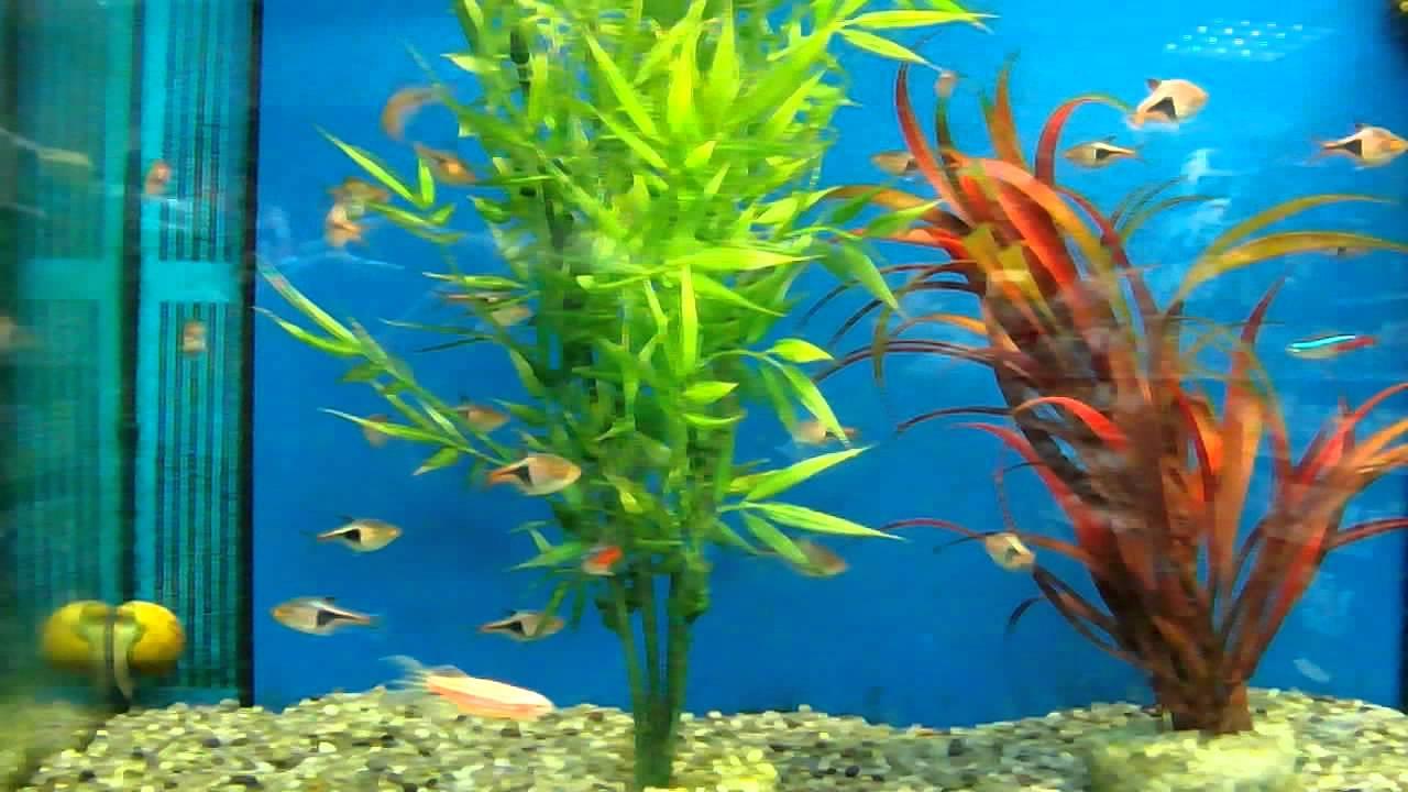 Freshwater aquarium fish rasbora - Aquarium Fish Ep 15 Harlequin Rasbora And Paracheirodon Innesi The Neon Tetra