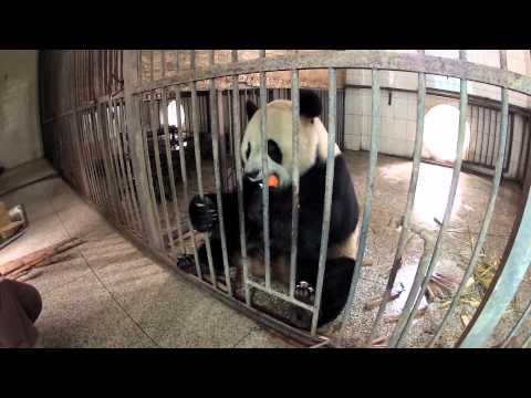 Volunteer at Giant Panda Center (Short Version)