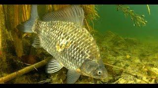 Подводная Охота на Карасей Гигантов Столько Щуки я Еще не Видел Карась Мутант Весенняя Рыбалка