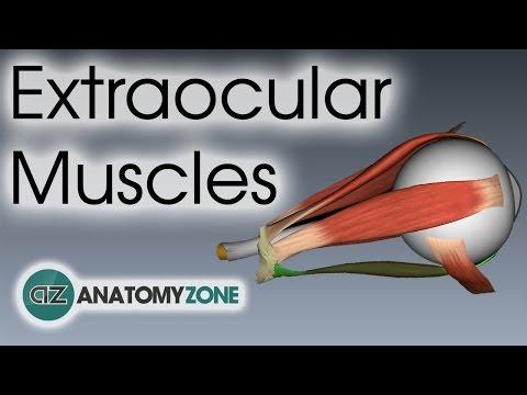 Extraocular Muscles   Eye Anatomy