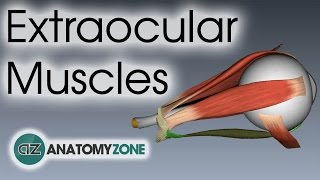 Extraocular Muscles | Eye Anatomy