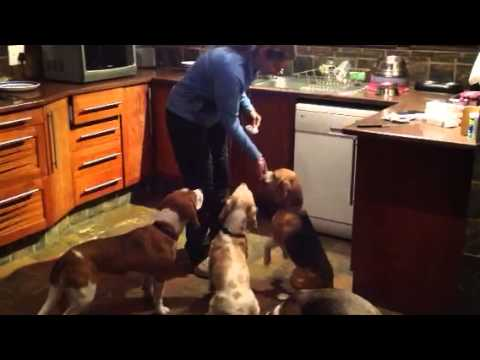 Beagles getting Bravec...