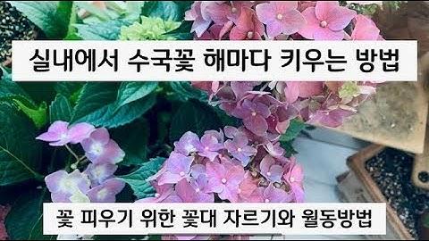 실내에서 🌸수국꽃 피우는 방법과 꽃대 자르는 법(Hydrangea)