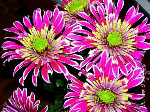 Очаровательные цветы хризантемы на даче
