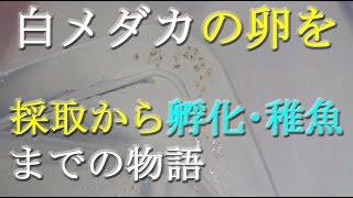 白メダカの卵を採取から稚魚、若魚までの物語です♡ (31)【Aquarium】