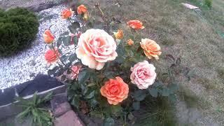 Классификация роз по группам  Часть 1