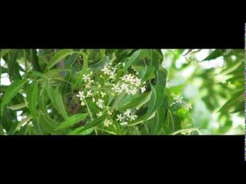La Arteriosclerosis y el Neem, Azadirachta indica, planta neem