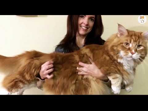 10 Biggest Cat Breeds! (Educational Video)
