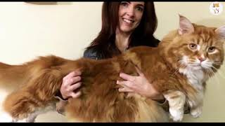 What is the Biggest Cat Breed on the World?  10 Biggest Cats in the World