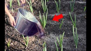 Не сажайте лук пока не посмотрите это, а если посадили то срочно полейте этим, подкормка лук
