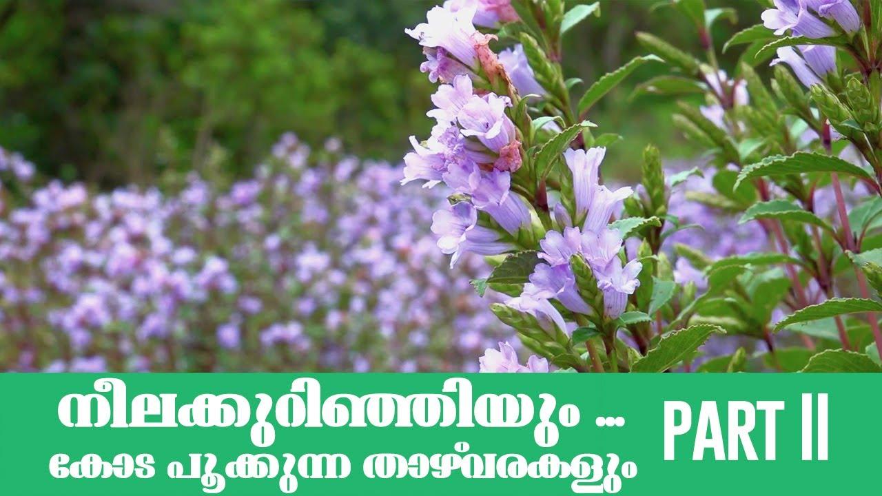 Neelakurinji 2020 | നീലക്കുറിഞ്ഞി | neelakurinji garden | munnar | kerala tourism | part 02