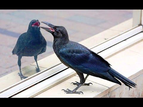 Наиболее тревожным знаком считается сон, в котором ворона стучит в окно.