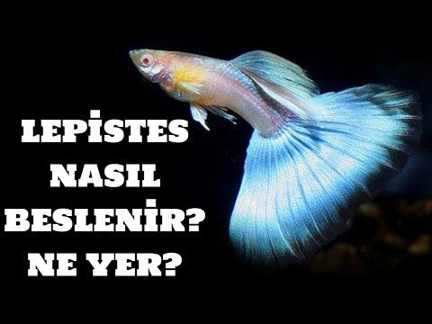 Lepistes Balığı Nasıl Beslenir? Ne Yer?