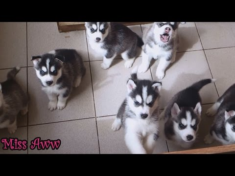 Cute Husky Puppies First Time Howling And Barking